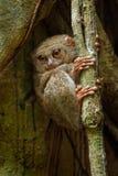 鬼Tarsier, Tarsius光谱画象,从Tangkoko国家公园,苏拉威西岛,印度尼西亚, 免版税图库摄影