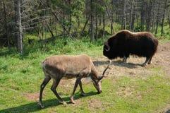 魁北克、北美野牛和一个北美驯鹿在圣徒Felicien动物园里 库存照片