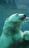 魁北克,在动物园sauvage de Saint FA©licienn的熊 免版税库存照片
