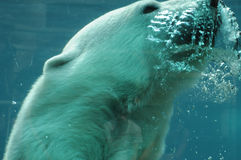 魁北克,在动物园sauvage de Saint Felicienn的熊 库存照片