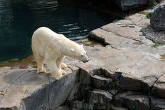 魁北克,在动物园sauvage de Saint Felicienn的熊 免版税库存图片