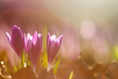 魔术开花的春天看法开花生长在野生生物的番红花 在春天花番红花的惊人的阳光 图库摄影