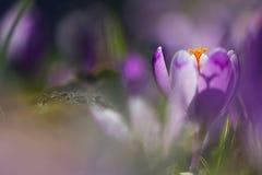 魔术开花的春天看法开花生长在野生生物的番红花 在春天花番红花的惊人的阳光 免版税库存照片