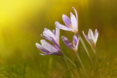 魔术开花的春天看法开花生长从在野生生物的新鲜的草的番红花 wildgrowing的番红花美丽的宏观照片  库存照片