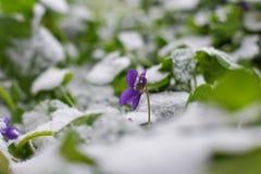 魔术开花的春天看法开花紫罗兰色生长从在野生生物的雪 库存图片