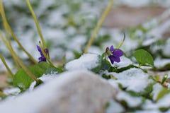 魔术开花的春天看法开花紫罗兰色生长从在野生生物的雪 免版税库存图片