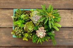 魔根williamsii、仙人掌或者多汁植物树在花盆在木头镶边了背景 免版税库存图片