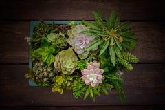 魔根williamsii、仙人掌或者多汁植物树在花盆在木头镶边了背景 免版税库存照片