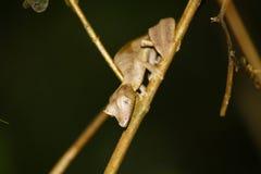 魔鬼叶子被盯梢的壁虎(Uroplatus phantasticus)在Ranomafana 库存照片
