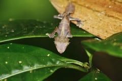 魔鬼叶子被盯梢的壁虎(Uroplatus phantasticus)在Ranomafana 图库摄影