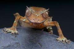 魔鬼叶子被盯梢的壁虎/Uroplatus phantasticus 免版税库存照片