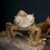 魔鬼叶子被盯梢的壁虎/Uroplatus phantasticus 库存图片