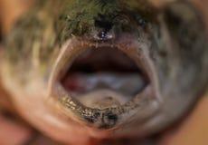 鱼三文鱼大牙开放嘴掠食性动物, 图库摄影