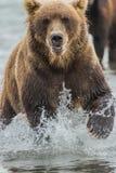 鱼三文鱼的熊狩猎 免版税库存照片