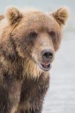 鱼三文鱼的熊狩猎 免版税库存图片