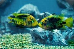 鱼二 免版税库存图片