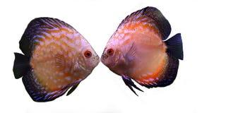 鱼亲吻 免版税图库摄影