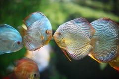 鱼亲吻 库存照片
