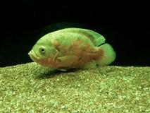 鱼凶手 免版税图库摄影