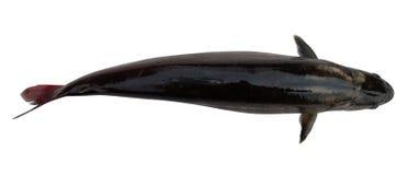 鱼剪影顶视图水 免版税库存照片