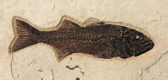 鱼化石 免版税图库摄影