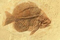 鱼化石 免版税库存照片