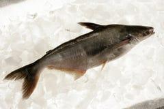 鱼印地安人 免版税库存图片