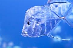 鱼印第安线程数 库存照片