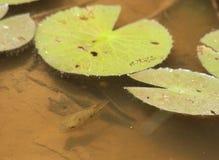鱼和睡莲在湖 库存图片