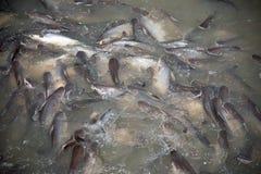 鱼哺养的疯狂  免版税图库摄影