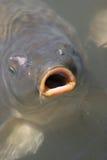 鱼嘴唇 免版税库存图片