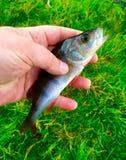 鱼在手中 图库摄影