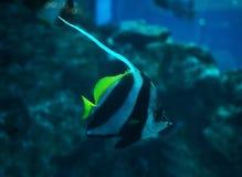 鱼在深蓝色海洋的Heniochus acuminatus 库存图片
