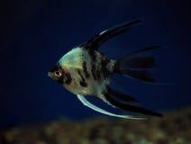 鱼在深蓝水特写镜头的Pterophyllum scalare 库存照片