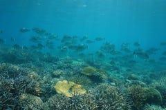 鱼在珊瑚礁的bluespine unicornfish浅滩  免版税图库摄影
