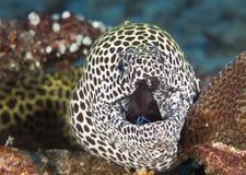 鱼在等待在珊瑚水中中的马尔代夫牺牲者,怎么伪装 免版税库存照片