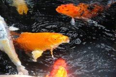 鱼在koi池塘 库存照片