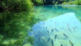 鱼在Plitvice湖,克罗地亚 免版税库存图片