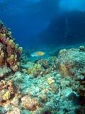 鱼夏威夷鹦鹉礁石 库存照片