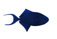 鱼大蓝色sweaming被隔绝在白色 库存照片