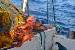 鱼好抓住在网的 免版税库存照片