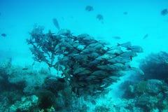 鱼学校在印度洋,马尔代夫钓鱼 免版税库存照片