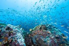 鱼学校在岩石的 图库摄影