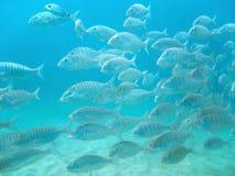 鱼学校游泳 免版税图库摄影