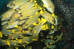 鱼学校黄色 库存照片