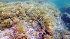 鱼学校:萨帕樽海鞘或dreamfish 股票录像