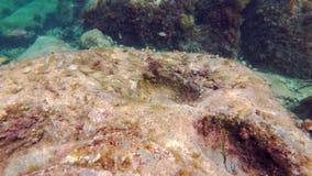 鱼学校:萨帕樽海鞘或dreamfish 股票视频