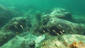 鱼学校:萨帕樽海鞘或dreamfish 影视素材