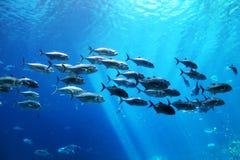鱼学校水下在水族馆 免版税库存图片