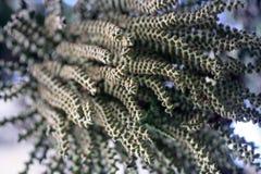 鱼尾棕榈的花和种子 免版税库存照片